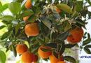 Confagricoltura: clementine in piazza contro la violenza di genere