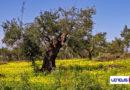 Da ISMEA primo importante segnale per l'olivicoltura pugliese