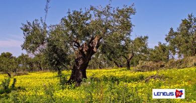 Agrinsieme chiede incontro ministeriale per le difficoltà dell'olivicoltura